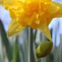 Meadow Daffodil