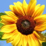 Joyful Sunflower