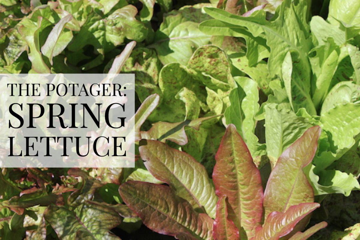 The Potager: Spring Lettuce